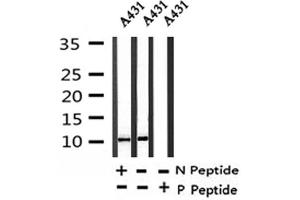 Image no. 1 for anti-Histone H4 (pSer88) antibody (ABIN6267924)