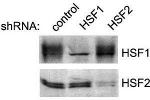 image for anti-HSF2 antibody (ABIN361728)
