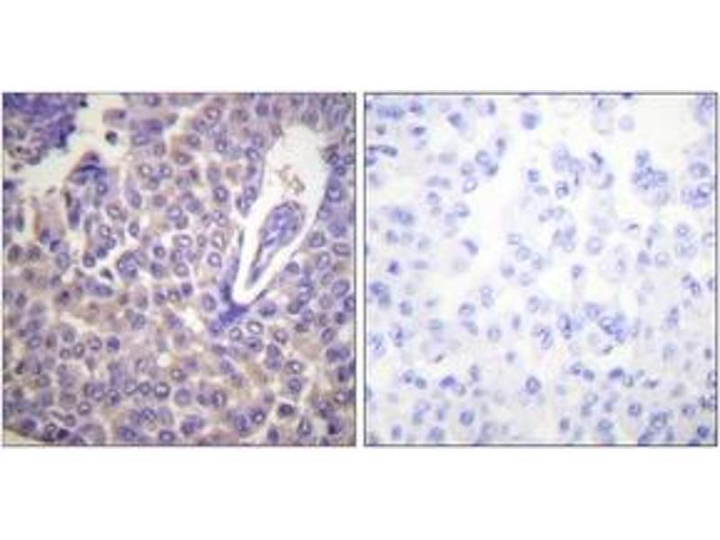Immunohistochemistry (IHC) image for anti-Calnexin antibody (CANX) (pSer583) (ABIN1531305)