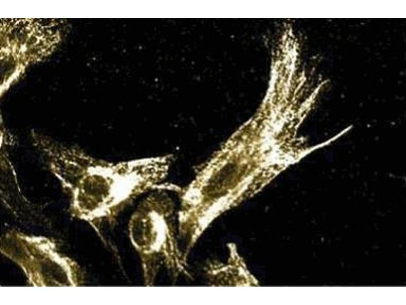 Immunofluorescence (IF) image for anti-MAPK3 antibody (Mitogen-Activated Protein Kinase 3) (AA 325-345) (ABIN967700)