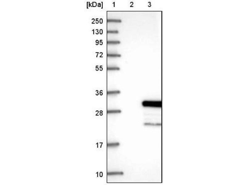 Western Blotting (WB) image for anti-RAS-Like, Estrogen-Regulated, Growth Inhibitor (RERG) antibody (ABIN4350010)