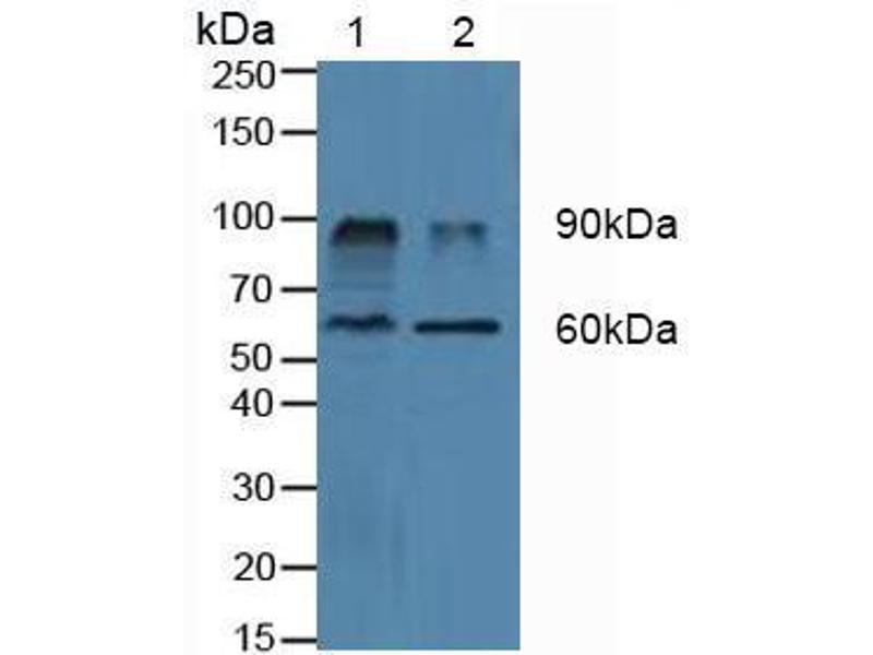 Western Blotting (WB) image for anti-Dipeptidyl-Peptidase 4 (DPP4) (AA 484-728) antibody (ABIN1173872)