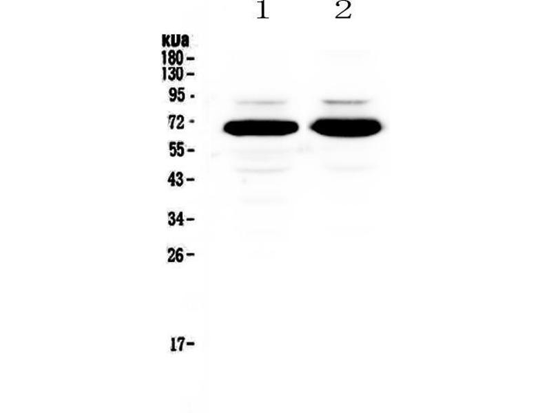Western Blotting (WB) image for anti-Splicing Factor 1 (SF1) (AA 160-266) antibody (ABIN5692946)