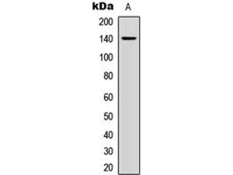 Western Blotting (WB) image for anti-Collagen, Type II, alpha 1 (COL2A1) (N-Term) antibody (ABIN2707435)