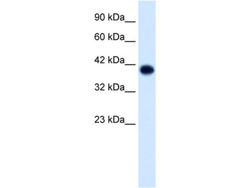 Western Blotting (WB) image for anti-Transcription Factor AP-4 (Activating Enhancer Binding Protein 4) (TFAP4) (C-Term) antibody (ABIN182813)