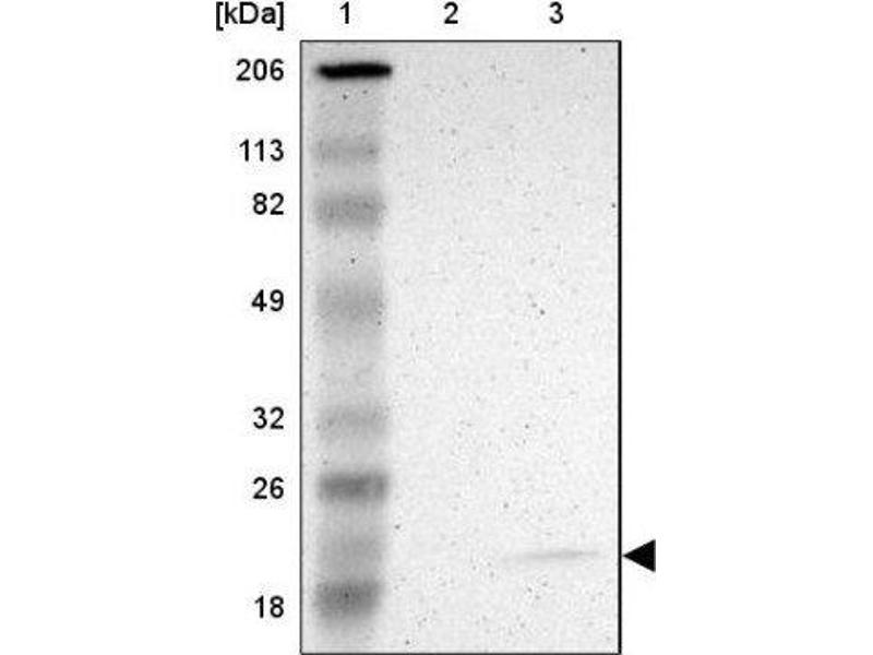 Western Blotting (WB) image for anti-PRA1 Domain Family, Member 2 (PRAF2) antibody (ABIN4327933)