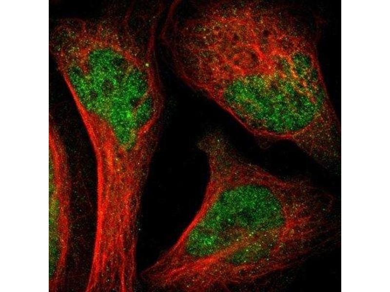 Immunofluorescence (IF) image for anti-SH2B3 antibody (SH2B Adaptor Protein 3) (ABIN4331277)