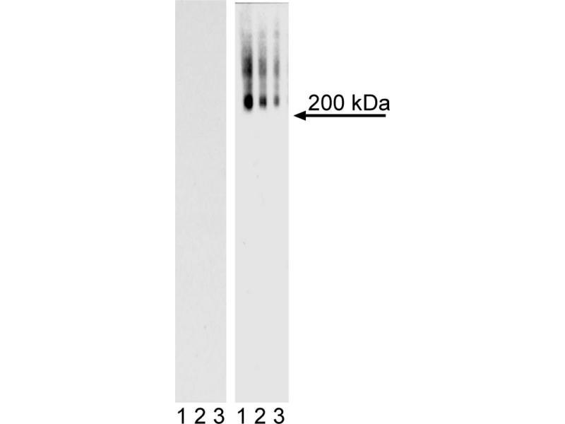 Western Blotting (WB) image for anti-Podocalyxin-Like (PODXL) antibody (ABIN967659)