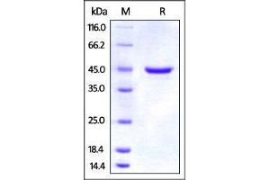 Image no. 1 for Tumor Necrosis Factor Receptor Superfamily, Member 18 (TNFRSF18) (AA 20-121) protein (Fc Tag) (ABIN2870837)