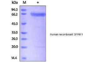 Image no. 1 for Sperm Adhesion Molecule 1 (PH-20 Hyaluronidase, Zona Pellucida Binding) (SPAM1) protein (His tag) (ABIN1888707)