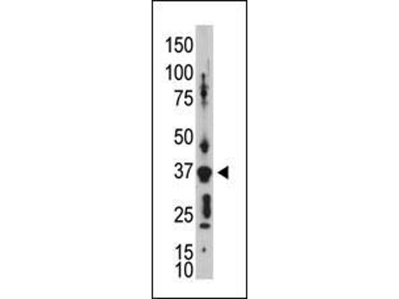 Western Blotting (WB) image for anti-Gap Junction Protein, delta 2, 36kDa (GJD2) (AA 291-321), (C-Term) antibody (ABIN388383)