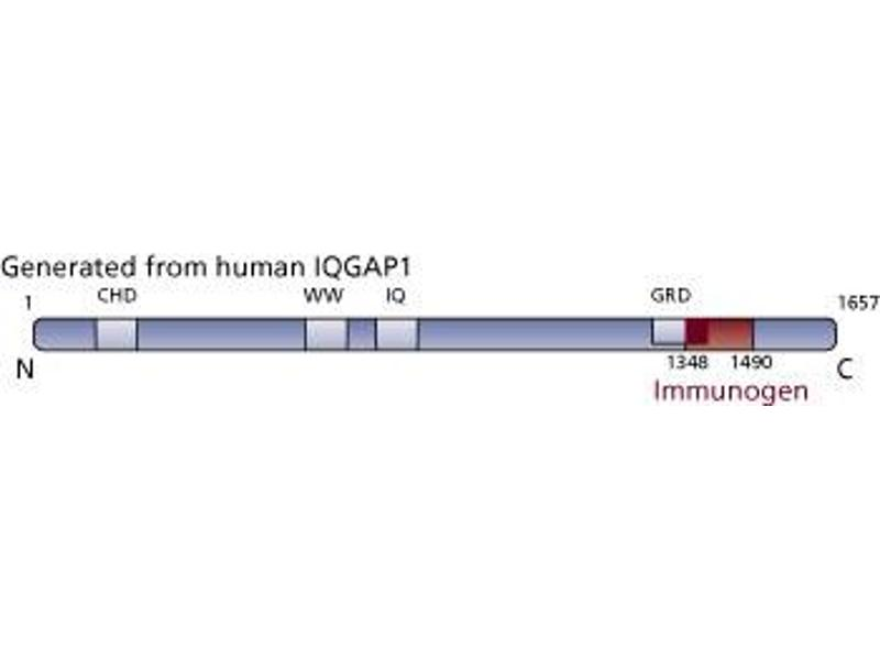image for anti-IQGAP1 antibody (IQ Motif Containing GTPase Activating Protein 1) (AA 1348-1490) (ABIN968064)