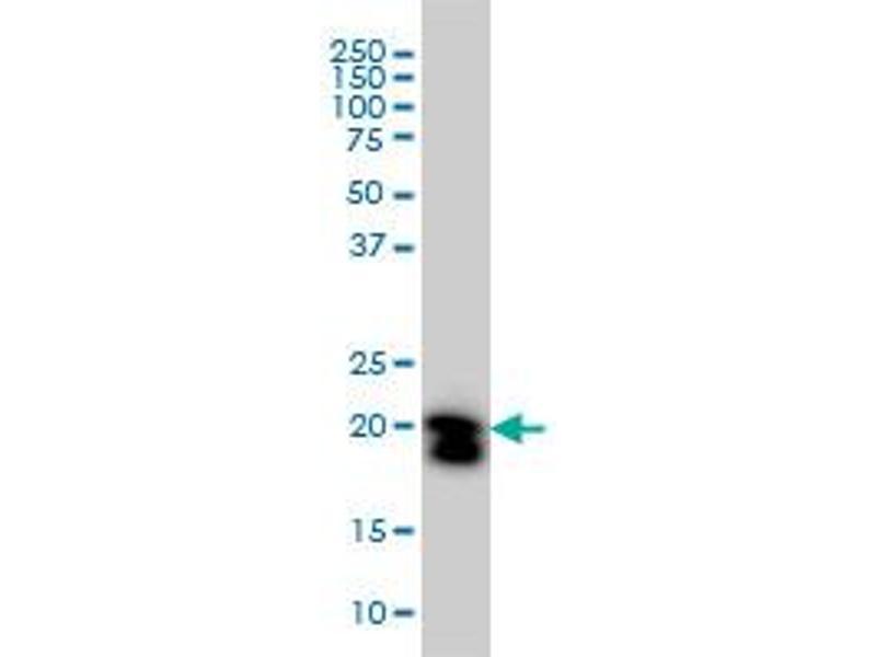 Western Blotting (WB) image for anti-RHOA antibody (Ras Homolog Gene Family, Member A) (AA 1-193) (ABIN559932)