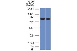 Image no. 1 for anti-Calnexin (CANX) (AA 1-300), (N-Term) antibody (ABIN6940953)