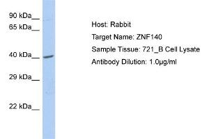 Image no. 1 for anti-Zinc Finger Protein 140 (ZNF140) (C-Term) antibody (ABIN2780226)