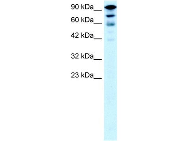 Western Blotting (WB) image for anti-Kinesin Family Member 5A (KIF5A) (Middle Region) antibody (ABIN182897)