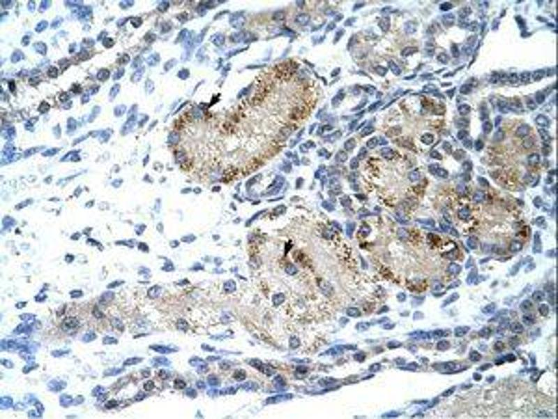 Image no. 1 for anti-General Transcription Factor II I Repeat Domain-Containing 1 (GTF2IRD1) (AA 757-806) antibody (ABIN203342)