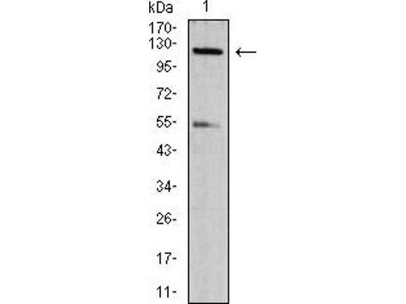 Western Blotting (WB) image for anti-NLR Family, CARD Domain Containing 4 (NLRC4) (AA 525-538) antibody (ABIN5611209)