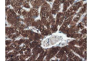 Image no. 1 for anti-Cytochrome P450, Family 2, Subfamily A, Polypeptide 6 (CYP2A6) antibody (ABIN1497723)