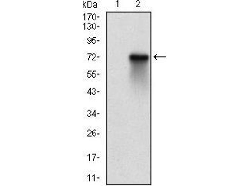 Western Blotting (WB) image for anti-Ribosomal Protein S6 Kinase, 90kDa, Polypeptide 2 (RPS6KA2) (AA 415-734) antibody (ABIN5542368)