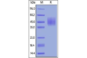 Image no. 1 for CD226 (CD226) (AA 19-252) (Active) protein (His tag) (ABIN6388274)