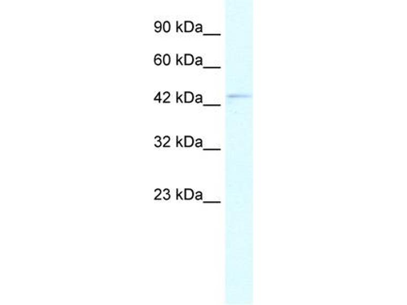 Western Blotting (WB) image for anti-Paired Box 5 (PAX5) (N-Term) antibody (ABIN2775953)