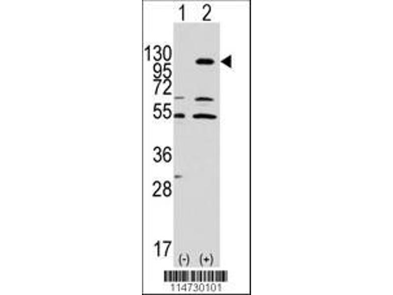 Western Blotting (WB) image for anti-EPH Receptor A7 antibody (EPHA7) (ABIN391900)