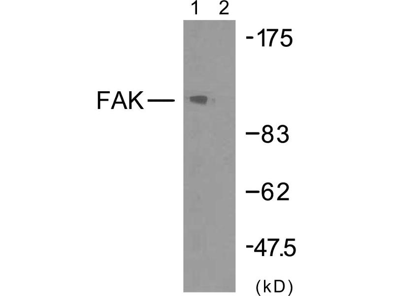 Image no. 1 for anti-PTK2 Protein tyrosine Kinase 2 (PTK2) (Tyr925) antibody (ABIN1576442)