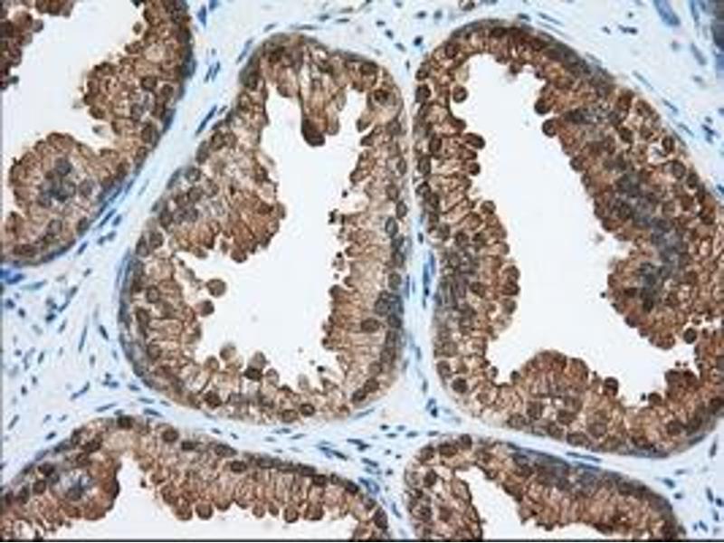 Image no. 9 for anti-Acetyl-CoA Acetyltransferase 2 (ACAT2) antibody (ABIN1496401)