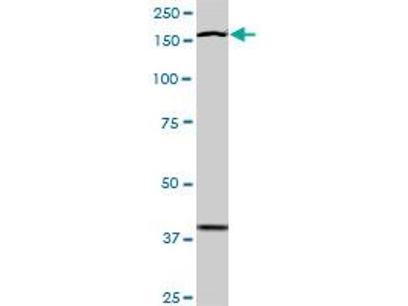 Image no. 4 for anti-TEK Tyrosine Kinase, Endothelial (TEK) (AA 66-185) antibody (ABIN793004)