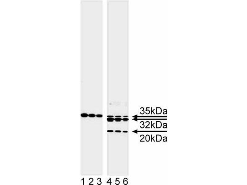 Western Blotting (WB) image for anti-Caspase 7 antibody (Caspase 7, Apoptosis-Related Cysteine Peptidase) (full length) (ABIN967332)