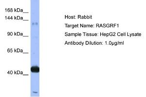 Western Blotting (WB) image for anti-Ras Protein-Specific Guanine Nucleotide-Releasing Factor 1 (RASGRF1) (N-Term) antibody (ABIN2786747)