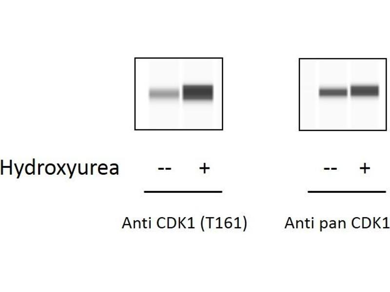 Image no. 3 for Cyclin-Dependent Kinase 1 (CDK1) ELISA Kit (ABIN6730452)