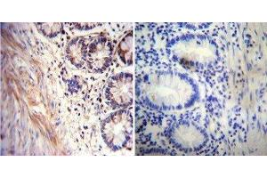 Immunohistochemistry (Paraffin-embedded Sections) (IHC (p)) image for anti-Acetylcholinesterase (AChE) antibody (ABIN152687)