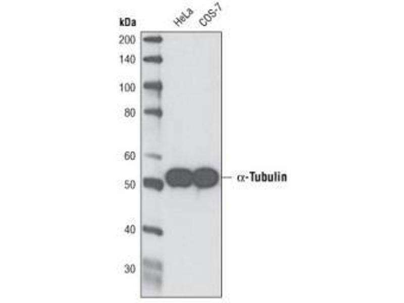 Western Blotting (WB) image for anti-alpha Tubulin (TUBA1) antibody (ABIN152113)