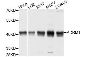 Image no. 1 for anti-Adhesion Regulating Molecule 1 (Adrm1) antibody (ABIN1678593)