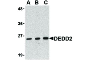 Image no. 1 for anti-Death Effector Domain Containing 2 (DEDD2) (N-Term) antibody (ABIN6656164)