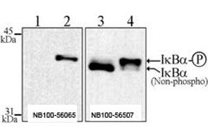 Western Blotting (WB) image for anti-Nuclear Factor of kappa Light Polypeptide Gene Enhancer in B-Cells Inhibitor, alpha (NFKBIA) (pSer32), (pSer36) antibody (Biotin) (ABIN252071)