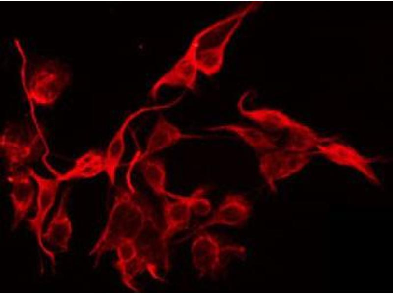Immunofluorescence (fixed cells) (IF/ICC) image for anti-MFNG (MFNG) antibody (ABIN6258883)
