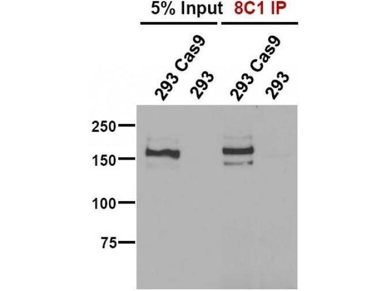 Immunofluorescence (IF) image for anti-CAS9 antibody (ABIN5563965)