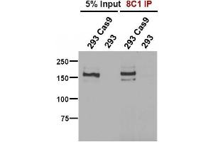 Immunofluorescence (IF) image for anti-CAS9 antibody (ABIN5563965)