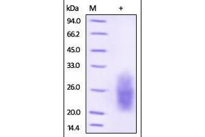 Image no. 1 for Natural Cytotoxicity Triggering Receptor 3 (NCR3) (AA 19-135) protein (His tag) (ABIN2181530)