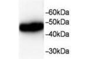 Image no. 1 for anti-Chloride Intracellular Channel 1 (CLIC1) antibody (ABIN791549)