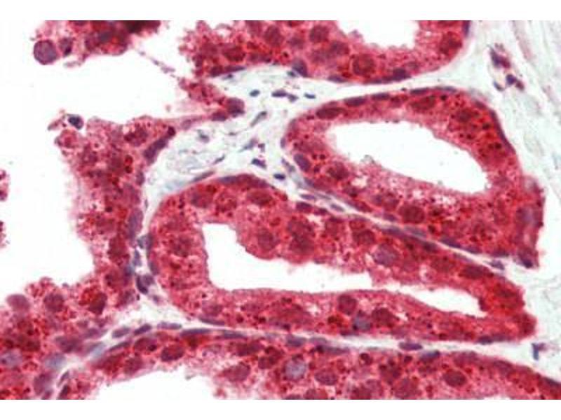 Image no. 2 for anti-RASD Family, Member 2 (RASD2) (N-Term) antibody (ABIN461905)