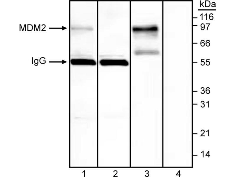 Western Blotting (WB) image for anti-MDM2 Antikörper (Mdm2, p53 E3 Ubiquitin Protein Ligase Homolog (Maus)) (AA 154-167) (ABIN967511)