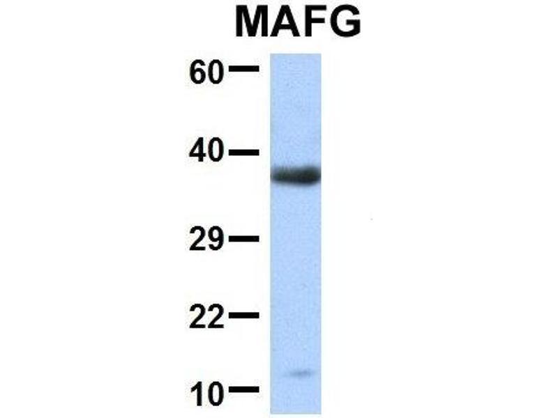 Western Blotting (WB) image for anti-V-Maf Musculoaponeurotic Fibrosarcoma Oncogene Homolog G (Avian) (Mafg) (Middle Region) antibody (ABIN2777530)