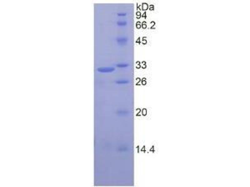 Calpain 1, Large Subunit (CAPNL1) ELISA Kit (3)