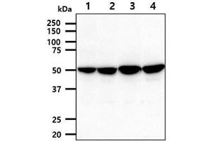 Image no. 1 for anti-Pyruvate Dehydrogenase Complex, Component X (PDHX) antibody (ABIN5775964)