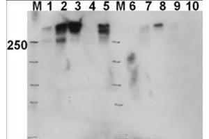 Image no. 1 for anti-Protein Kinase, DNA-Activated, Catalytic Polypeptide (PRKDC) (pThr2609) antibody (ABIN129603)