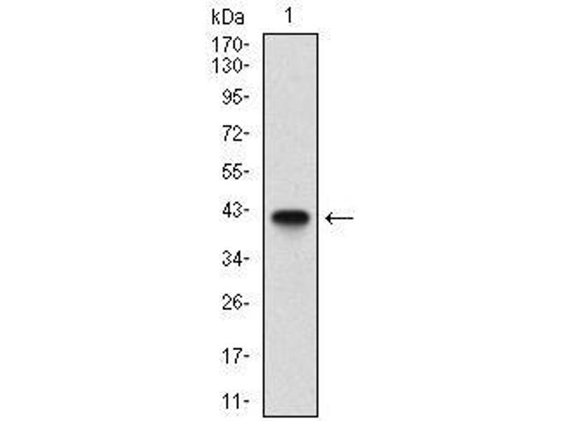 Western Blotting (WB) image for anti-beta-2-Microglobulin (B2M) (AA 21-100) antibody (ABIN1724934)